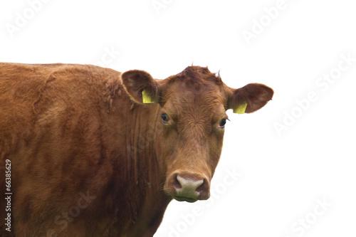 In de dag Koe Cow