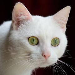 Stierende Katze, qu.