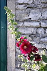 dunkle stockrose und natursteinmauer