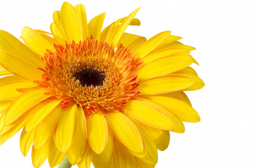 Bright yellow and orange gerbera on white