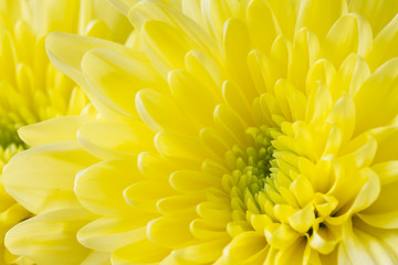 Close up image of yellow chrysanthemum