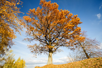 Beautiful autumn oak tree