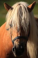 cavalli al pascolo valle del trentino ai piedi delle dolomiti