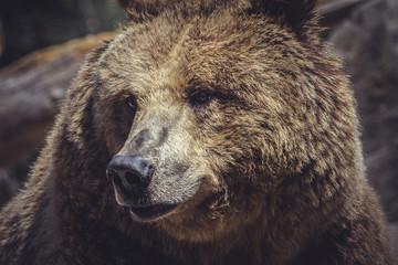 Spanish powerful brown bear, huge and strong  wild animal