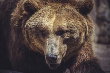 wildlife, Spanish powerful brown bear, huge and strong  wild ani