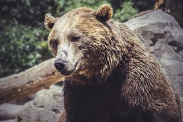 predator, Spanish powerful brown bear, huge and strong  wild ani