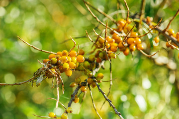 Orange sea-buckthorn