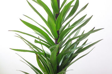 Green plant. the stalk of a lily. long sharp leaves
