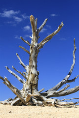 arbre sec de yowimpa Point, Bryce Canyon