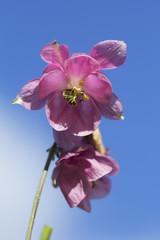 Цветок Аквилегия