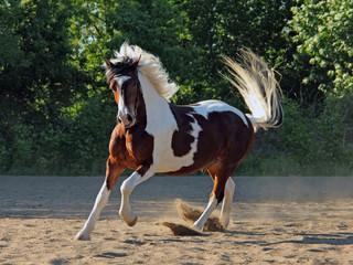 Expressive gypsy horse