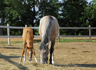 Baby horse and mare equine in evening
