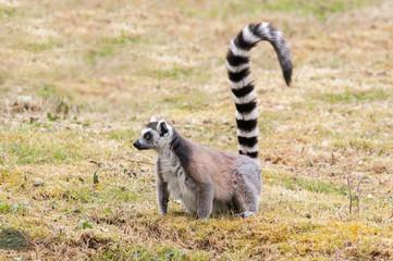 Maki catta - Lemur catta - en observation