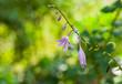 Beautiful ornamental bell-flower