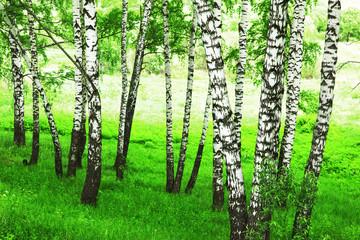forest birch