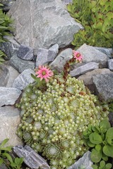 Succulents rejuvenated bloom in the garden