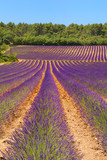 Fototapety Landscape with lavender