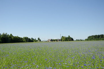wide summer cornflower horizon