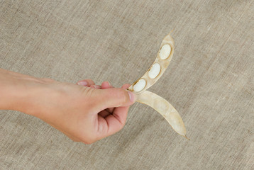 hand hold open pod with three dried white beans