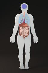 Corpo umano sezione organi interni e apparati
