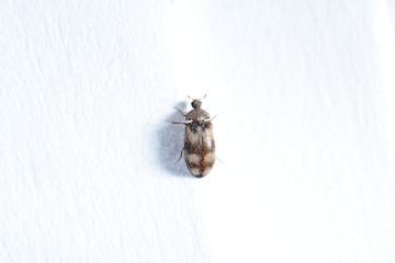 Speckkäfer, Dermestidae