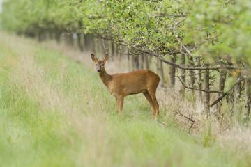 Chevreuil - Roe Deer - Capreolus capreolus