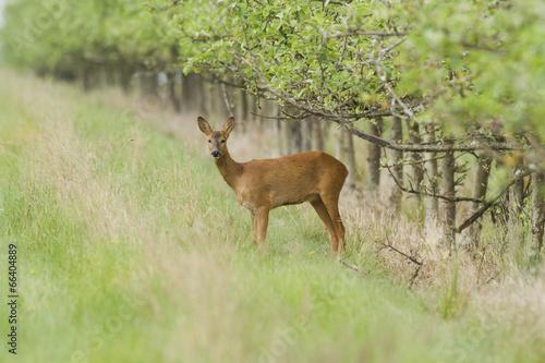 Fotobehang Ree Chevreuil - Roe Deer - Capreolus capreolus