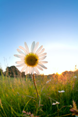 gold sunlight behind chamomile flower