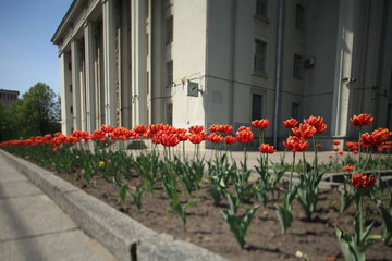 terry red tulips front of the building tilt shot