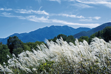 Japanese Silver Grass in Mountain