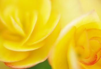 Close Up Image of Begonia