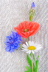 poppy flowers  and cornflower