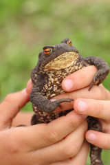 Common toad in child's hands