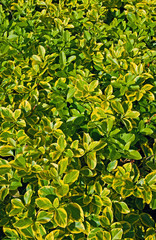 Closeup of euonymus fortunei, background, texture