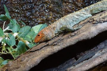 Northern Caiman Lizard - Dracaena guianensis