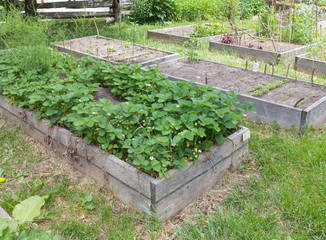 Community Garden with strawberry plants
