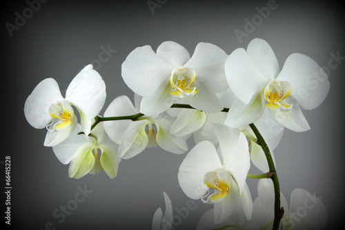 Panel Szklany Beautiful white orchid, on Grey background