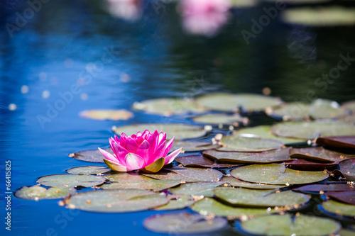 Fotobehang Water planten Water lily