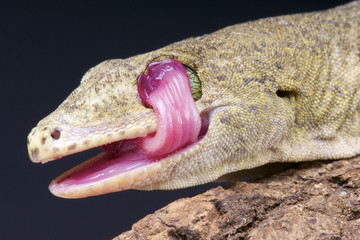 Lizard licking its eyes.