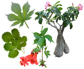 strawberry leaf Banzai kampsis leaf hops
