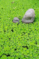 green duckweed and stone