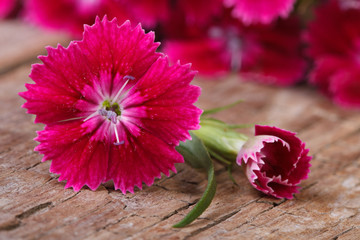 Beautiful bright pink carnation close-up on wooden