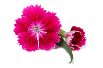 sweet william red flower with a bud isolated