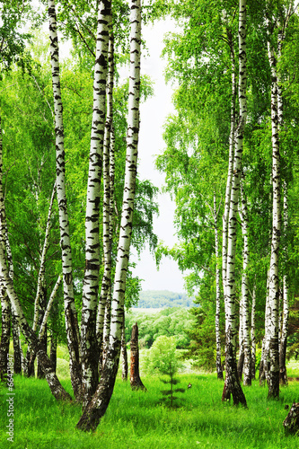 Obraz na Plexi forest birch