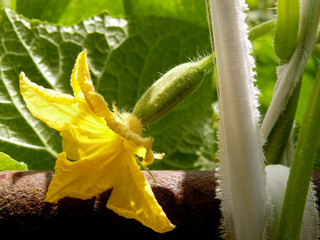 cucumber plant fragment with flower