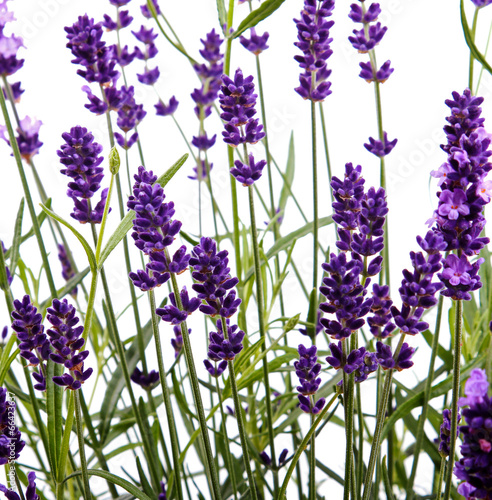 Poster Lavendel closeup of lavender