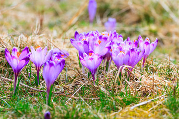 Blooming violet crocuses, spring flower