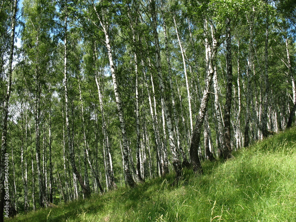 brzoza drzewa las - powiększenie