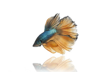 halfmoon betta fighting fish