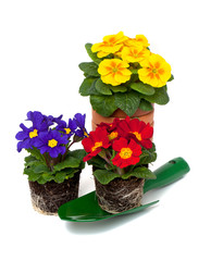 primula flowers in pot